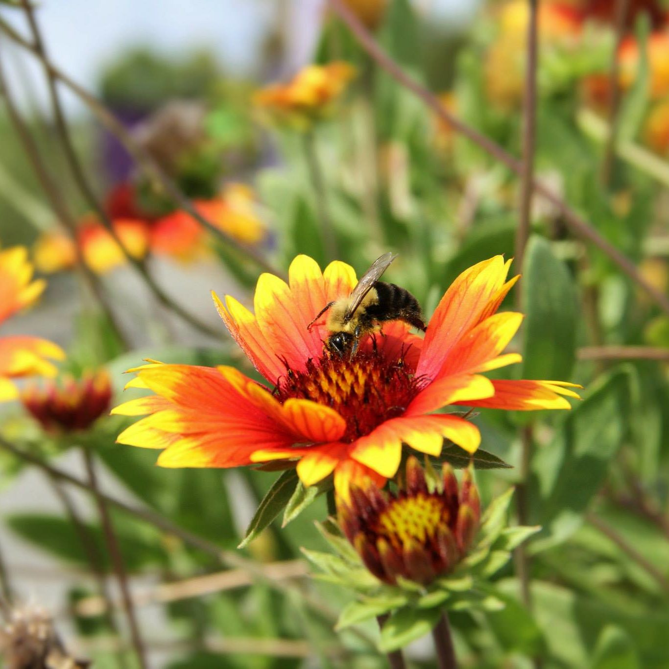 Residential and Consumer Horticulture - Bee on Flower in UT Gardens